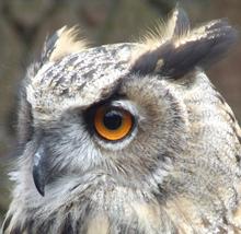 Eagle Owl Photos (2008)